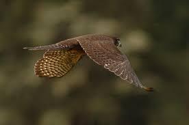NZ falcon in flight. goRide
