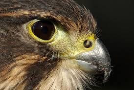 NZ Falcon close up.goRide